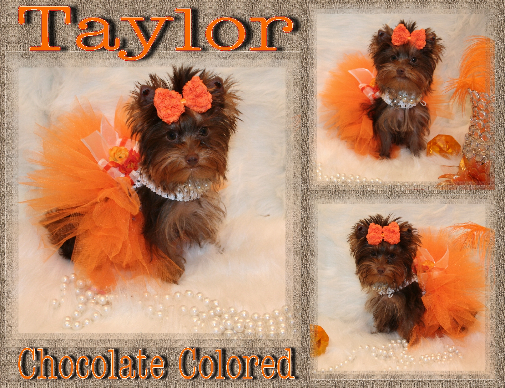 Yorkie Puppies For Sale Teacup Yorkshire Terrier Parti Yorkie Pups ...