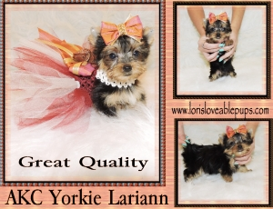 Lariann-Teacup-Yorkie- Puppy