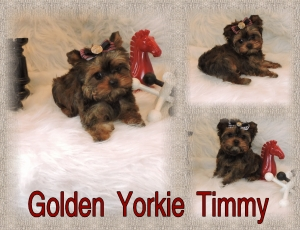 Golden Yorkie (Timmy)