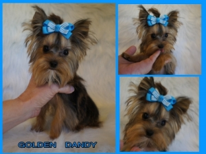 AKC-Golden-Yorkie-Puppy