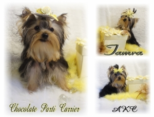 chocolate/parti/carrier yorkie